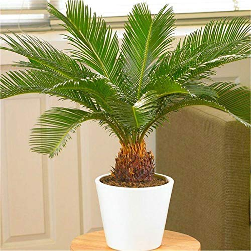 Sago Palm Tree Tropical Bonsai Live Plant Indoor Outdoor Garden Houseplan Best Gift - USA_Mall -