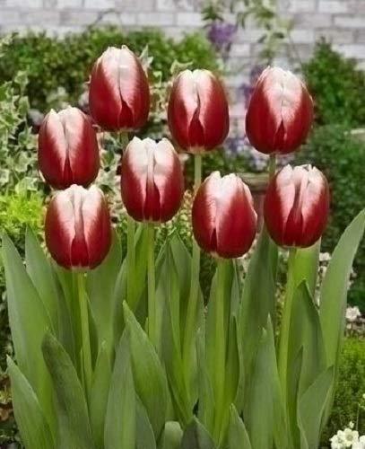 Bulbi 100 Pezzi Tulipano Variet/à Leen Van Der Mark Olandese Fiori Rosso//Giallo Perenne Da Giardino Profumati Prato Vaso 10//11 60 Cm