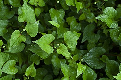 HOUTTUYNIA CORDATA Live Plant Non-GMO Organic Healthy Strong Root High Quality Live Plant Fish Mint Diep Ca Dap Ca ()