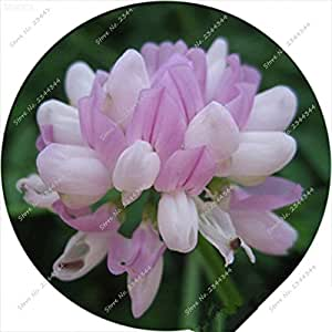 80pcs/ bag Rare Crown Vetch Seeds Indoor Blooming Perennial Bonsai Potted Courtyard Flower Plant for Mini Garden Decor