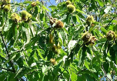 - American Chestnut Tree Hybrid - Heavy Established Roots - 2 Gallon Pot - 1 Plant