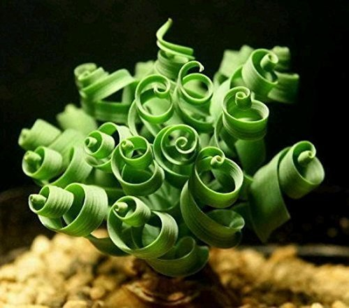 Price comparison product image (LSGAmbizu New Latifolia Spring Grass 20pcs Kk Bonsai Seed Albucanamaquensis Succulents Seeds Color: Spring Grass 20pcs, Model: , Outdoor/Garden Stor, Repair & Hardware