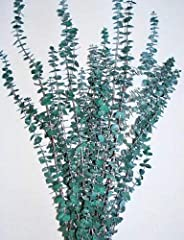 6-7 Branches of Eucalyptus (8oz) Green 1 Eucalyptus bunch shown in main picture. Available in Green Season for Fragrance: Most Fragrant August-Sept, Oct - Feb is least fragrant, Mar - July is Middle Fragrant. Let us know what you would like a...