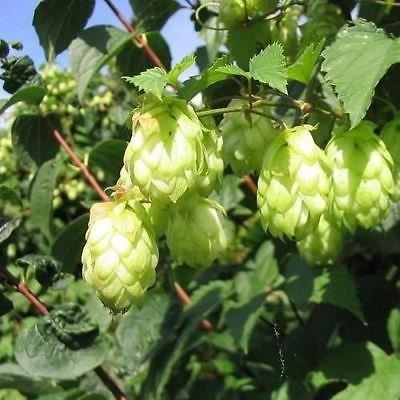 Beer Hops Bush Seeds (Humulus lupulus) 50+Seeds : Garden & Outdoor