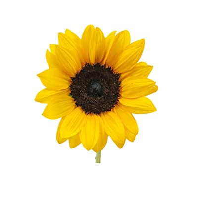 250 pcs Mini Sunflower Seeds Dwarf series height 40cm Flower Seeds : Garden & Outdoor