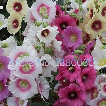 Rare Graines De Roses Tremieres Japonais 100 Vraies Graines De 15