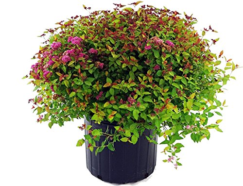 Magic Carpet Spirea, pink flowering plant in 3 Gallon pot - Spiraea Japonica 'Magic Carpet'