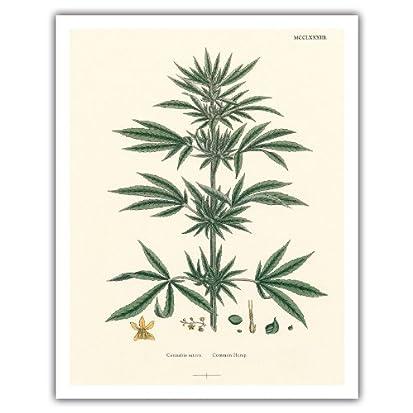 Cannabis Sativa Common Hemp Vintage Hand Colored Botanical Illustration by John Sowerby c1883 Hawaiian Fine Art Print
