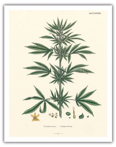 Cannabis Sativa Common Hemp Vintage Hand Colored Botanical Illustration by John Sowerby c1883 Hawaiian Fine Art Print