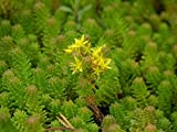 kakroz Tasteless Stone Crop Seeds. Sedum Sexangulare, Succulent, Perennial and Evergreen (5000 Seeds)