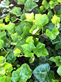 English Ivy liners 3'' in. pots - 18 count trays