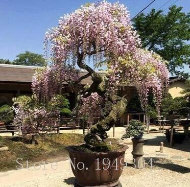 Wisteria Bonsai Tree Ornamental Plants Perennial Flowers Home Garden 5 Pcs Seeds
