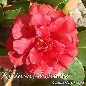 Kamelie 'Kirin-no-homare' - Camellia higo - 3 bis 4-jährige Pflanze