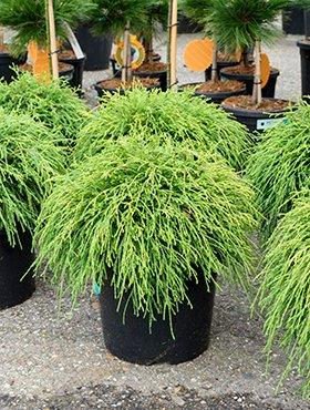 Fadenzypresse Ca 40 Cm Balkonpflanze Wenig Wasser