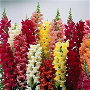 (100 Tall Deluxe Mixed Snapdragon Flower Seeds)