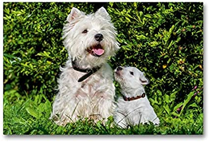 Calvendo Premium Lienzo 90 cm x 60 cm Horizontal, un Motivo del Calendario Kobold en 4 Patas, West Highland White Terrier Imagen sobre Lienzo, impresión en Lienzo Animales