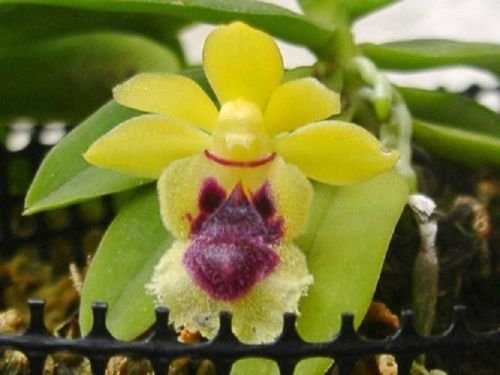 Haraella retrocalla New! Very interesting! Collectors item! Nice! Must Have! Orchid Plant - Mini Vanda Orchid