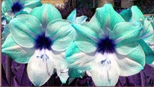 Ture Amaryllis Bulbs Hippeastrum Flowers Hippeastrum Bulbs Bonsai Rare Flower Bulbs Home Garden Plant -2pcs/Bag (Bulk Amaryllis Bulbs)
