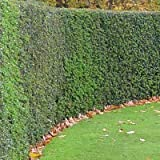 American Holly Trees - Large, Developed Holly Trees in Containers