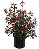 Rhododendron (Rhododendron) Evergreen Size Container