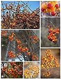 American Bittersweet Seeds - Celastrus scandens - Vines Of Autumn Delight