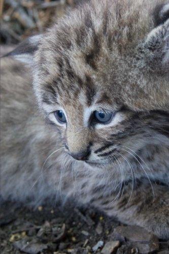 Darling Little Bobcat Kitten Journal: 150 Page Lined