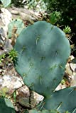 MISSION CACTUS PRICKLY PEARS Edible Live Plant Non-GMO Healthy Strong Root High Quality Live Plant aka Opuntia ficus-indica Smooth Mountain Prickly Pear Indian Fig