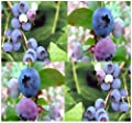 HIGHBUSH Blueberry Plant Seeds - BULK SEEDS - ornamental edible x 6 VARIETIES Mix - BEAUTIFUL White Blooms Turn Into Berries - Zones 5 - 9 By MySeeds.Co
