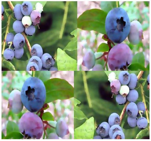 4 Packs x 100 HIGHBUSH Blueberry Plant Seeds - Bulk Seeds - Ornamental Edible x 6 Varieties Mix - Beautiful White Blooms Turn Into Berries - Zones 5-9 - by MySeeds.Co