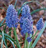 15 Bulb Plant Grape Hyacinth Muscari Latifolium