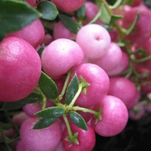 Pernettya Pink.Pernettya Mucronata Pink 15cm Pot Size Amazon Co Uk Garden Outdoors