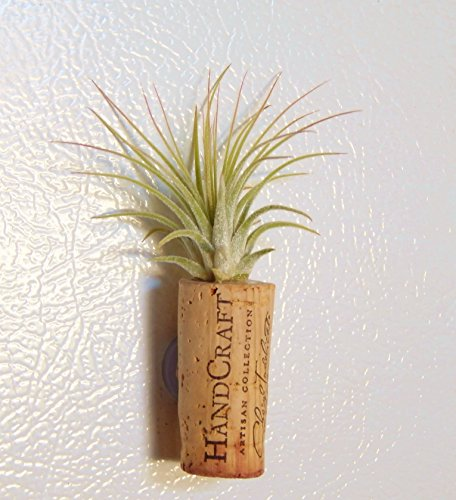 Bliss Gardens Wine Cork Air Plant Magnet - Choose Your Quantity