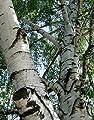 New Weeping White Birch, (Silver Birch), Betula pendula alba, Tree 50 Seeds (Fast)
