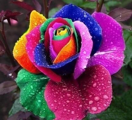 Rainbow Rose Fragrant Flower 20 Seeds
