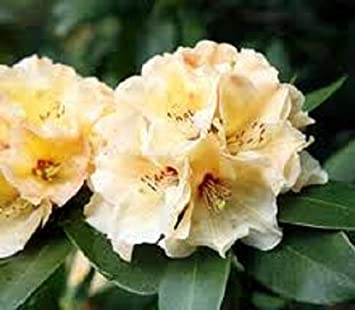 Large Rhododendron Horizon Monarch Yellow Flowers In 75lt Pots Well