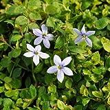 1 Isotoma Fluviatillis, Blue Star Creeper Live Plant