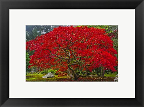 se Maple In Autumn by Jason Matias Framed Art Print Wall Picture, Black Frame, 20 x 15 inches ()