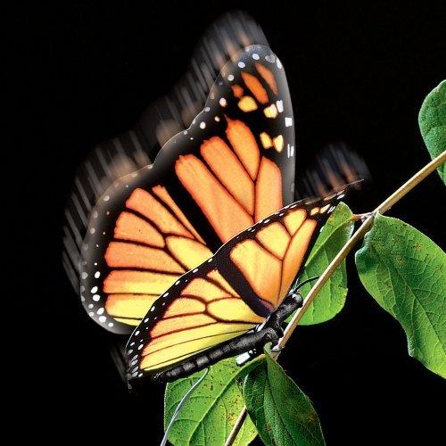 Elegant Aliform Monarch Moving Butterfly by Innovative Animations, LLC