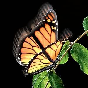 Elegante de la mariposa monarca en movimiento aliforme