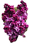 SCENTED LILAC- Superb Mothers Day, Birthday Plant & Flower Gifts For Mum,Mom,Women,Her,Grandma,Granny