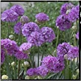 Best Garden Seeds Armeria pseudarmeria (Ballerina Lilac Seeds) False Sea Thrift, Perennial