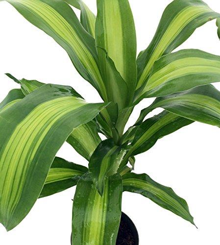 Live Dracaena Corn aka Dracaena fragrans Plant Fit 1 Gal - Plant Corn Dracaena