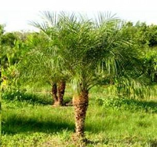 Palm 10 Seeds - Pygmy Date Palm 10 Seeds a Beautiful Small Palm Tree