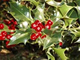 English Holly, Ilex Aquifolium, Tree 20 Seeds (Evergreen, Showy Fruits)