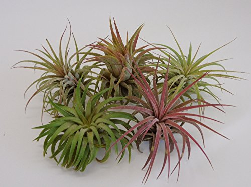 5 Pack Tillandsia Ionantha Rubra Air Plants by CTS Air Plants (Care Plants Of Taking Air)