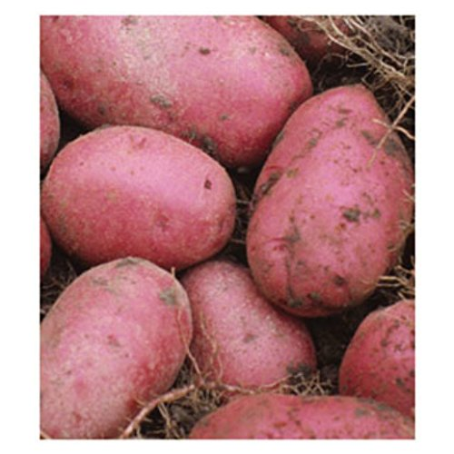 5 lb. SEED POTATOES - Red Pontiac - Organic - ORDER NOW for FALL PLANTING