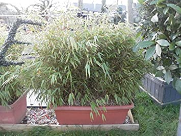 Fargesia rufa/Rufa Bamboo Trough : 90L Pot : 100-110cm High (exc pot ...