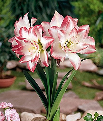 Bulb Flower Amaryllis Double 1 - Blossom Peacock Double Amaryllis 1 Bulb - Double Flower - Large Bulb