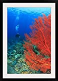 GreatBIGCanvas ''Scuba Diver, Brilliant Red Sea Fans (Melithaea Sp,), Komba Island, Flores Sea, Indonesia'' Photographic Print with Black Frame, 24'' x 36''