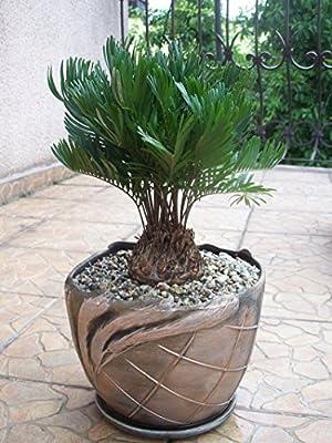 ZAMIA FLORIDANA coontie palm florida native cycad tree palms plant seed 10 seeds